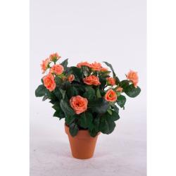 Rosa Mini avec un pot d'argile 35 cm