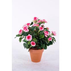 Rosa Mini rose dans un pot d'argile 35 cm