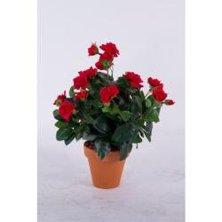 Rosa Mini rouge dans un pot d'argile 35 cm
