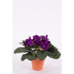 Saintpaulia violet 15 cm
