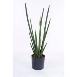 Sansevieria cylindrica L 75 cm