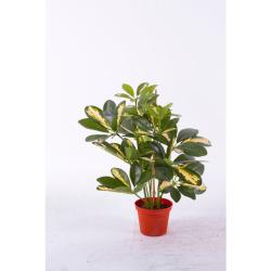 Schefflera vert-jaune 35 cm