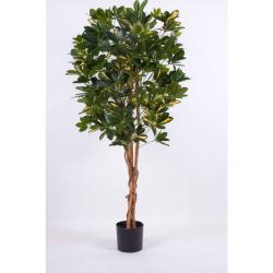 Schefflera vert-jaune H 110 cm