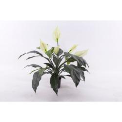 Spathiphyllum H 73 cm