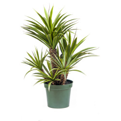 Sukkulente Star-Aloe Ferox H 101 cm