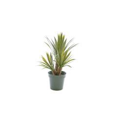 Sukkulente Star-Aloe Ferox H 71 cm