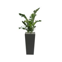 Zamioculcas dans un pot noir 80 x 80 x 180 cm