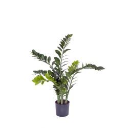 Zamioculcas zamiifolia H 110 cm