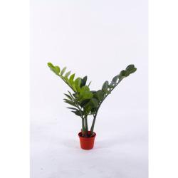 Zamioculcas zamiifolia H 50 cm